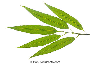 isolated willow leaf over white background