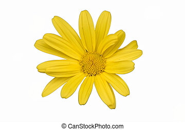 isolated yellow daisy in the garden