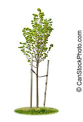 Isolated young linden tree - Young linden tree held with...