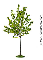 Isolated young maple tree - Single maple tree with green...