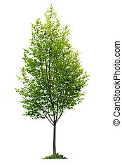 Isolated young tree - Single young tree with green leaves ...