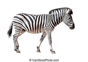 isolated zebra of profile on white background