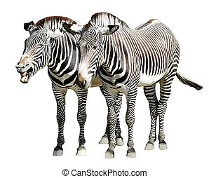 Isolated zebras of Grevy