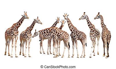 isolato, giraffe