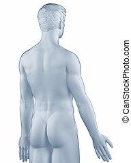 isolato, posizione, uomo, anatomico