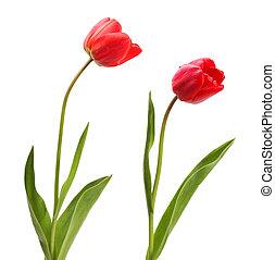 isolato, set, tulips, bianco rosso