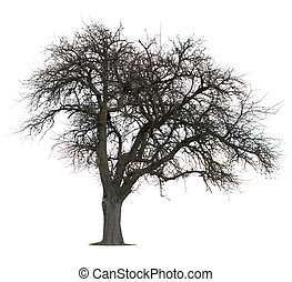 isolerat, äpple träd