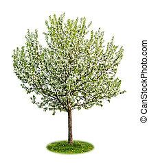 isolerat, blomning, äpple träd