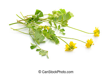 isolerat, gul, coronilla, flowers., bakgrund, vit