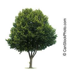 isolerat, lind träd