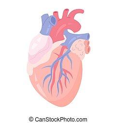 isolerat, mänsklig, aorta, vektor, illustration, hjärta, ...