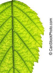 isolerat, träd löv