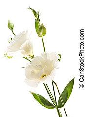 isoleret, hvid blomstrer