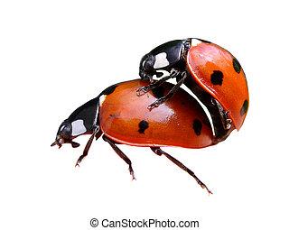 isoleret, parre, ladybugs