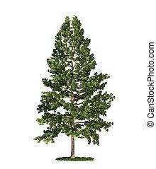 isoleret, træ, på hvide, østlig, hvid, fyrre, (pinus,...