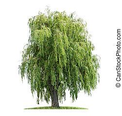 isoleret, weeping willow, på, en, hvid baggrund