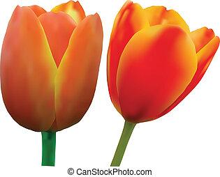 isolieren, abbildung, tulpenblüte, vektor, hintergrund,...