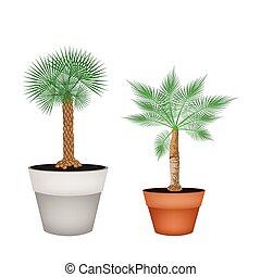 isometrico, vasi terracotta, due, albero, palma