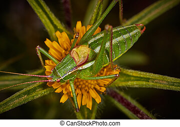 Isophya bush cricket