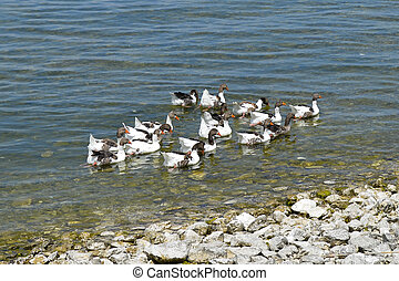 Birds in Egirdir lake, Isparta province, Turkey