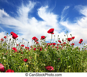 Anemones - Israel. Anemones of the family of buttercup....