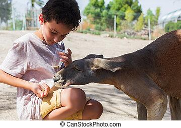 israel, matning, känguru, ung, zoo., parkera, röd, unge