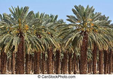 israel, -, muerto, plantación, palma, mar, fecha
