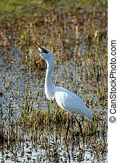 Israel Nature and Wildlife - Lake Hula - A great white...