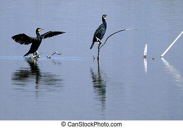 Israel Nature and Wildlife - Lake Hula - Great black...