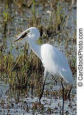 Israel Nature and Wildlife - Lake Hula - Great white...