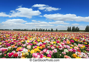 """Israeli kibbutz on the border with the Gaza Strip. Huge field of blossoming buttercups. Spring """"carpet"""" of flowers"""