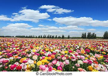 Israeli blossoming buttercups - Israeli kibbutz on the...