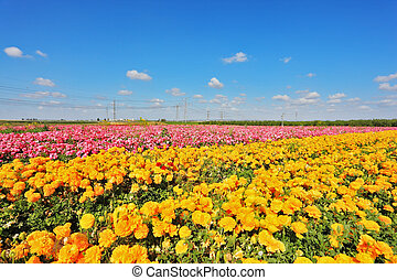 Kibbutz fields with bright flowers Ranunculus - Israeli...