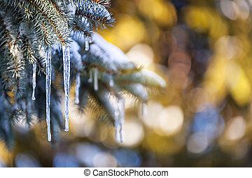 istappar, på, gran träd, in, vinter