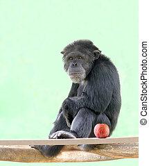it., animales, manzana, más cercano, sentado, muy, relajado, seres humanos, chimps, mirar, parientes, besides, chimpancé, ellos, africano, origin., inteligente, elegante, humor
