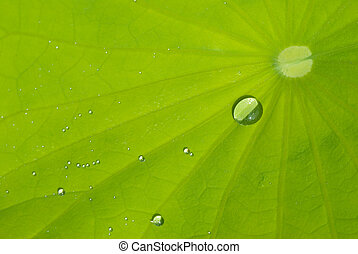 leaf of waterlily with dew