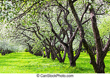 It is a lot of blossoming apple-trees in a garden