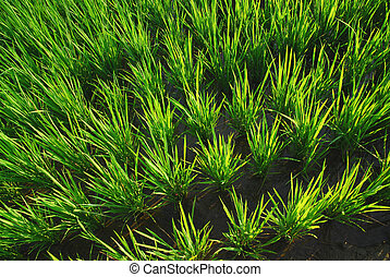 It is a new paddy-field . - It is a green new rice land...