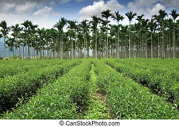 tea fram road toward areca - It is tea fram road toward...