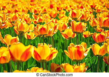 yellow orange flowers of tulips blossomed in the spring