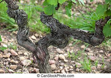 italia, toscana, viti, vecchio, fioritura, season.