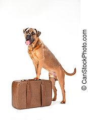 Italian cane corso on travel suitcase.