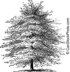 Italian Cypress or Cupressus sempervirens horizontalis, vintage engraving. Old engraved illustration of an Italian Cypress tree.