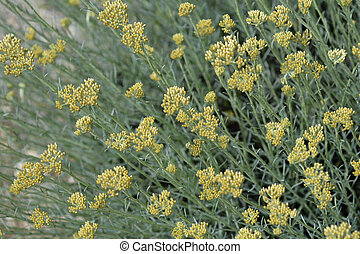 Italian everlasting flowers - Italian everlasting yellow...