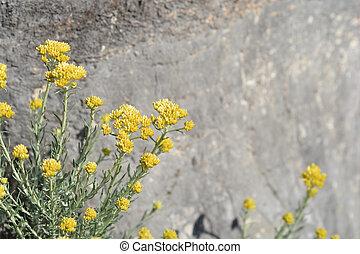 Italian everlasting flowers - Italian everlasting yellow...