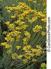 Italian everlasting yellow flowers - Latin name -...