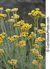 Italian everlasting yellow flowers - Latin name -...