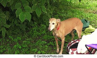 Italian Greyhound. Breed greyhounds. 4K. - Italian...