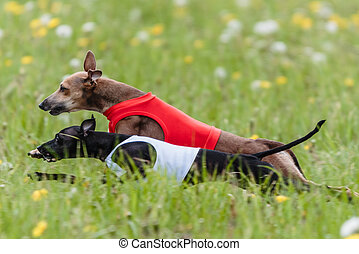 Italian Greyhound dog running in lure coursing competition