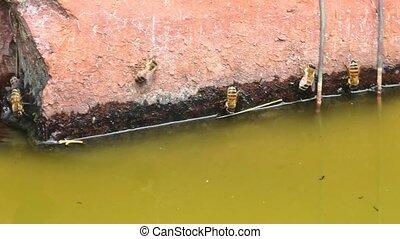 Italian honey bees drinking - Close-up of Italian bees ...